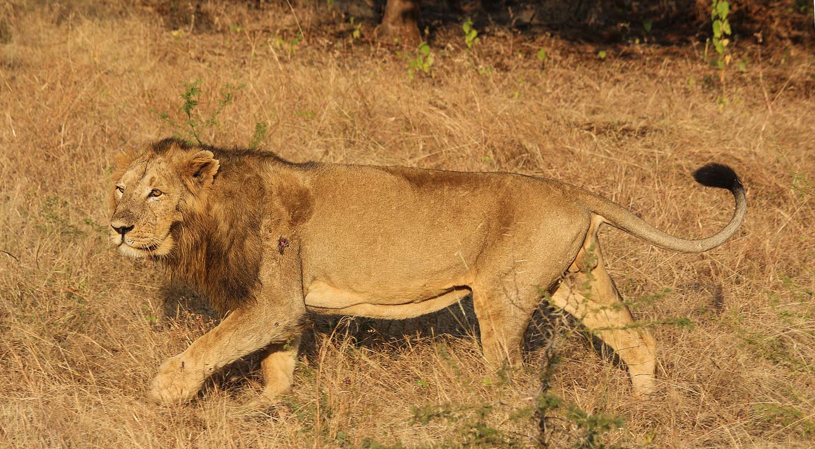 Gujarat - Asiatic Lion