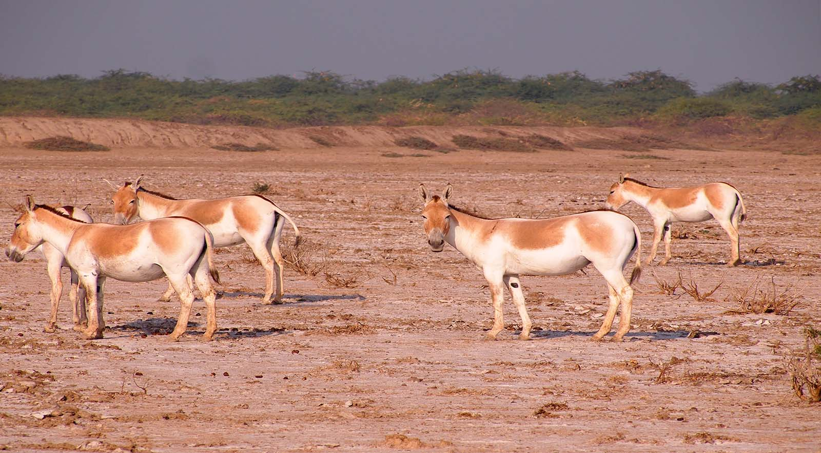 Gujarat - Little Rann of Kutch